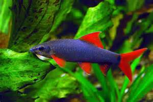 Buy Red Tail Black Shark Online at Aquarium Warehouse