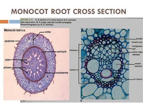 cross section of monocot root plants day 3 monocot dicots ppt video online download