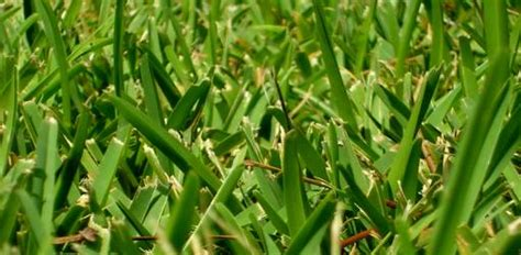 applying weed and feed products to st augustine grass