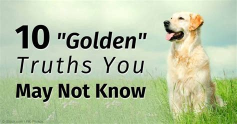 are golden retrievers easy to potty best 25 golden retriever ideas on a puppy puppy care