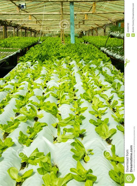 simple hydroponic system growing lettuce stock photo