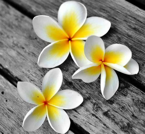 wallpaper bunga kamboja gambar bunga kamboja di atas kayu pernik dunia