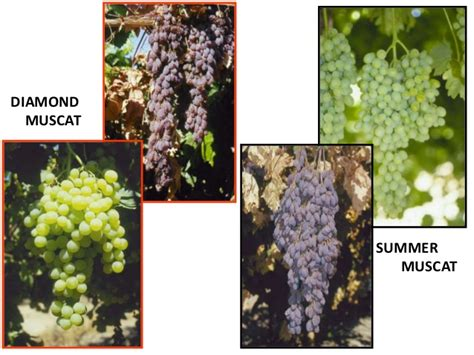 scion and rootstock raisin rootstocks and scions in california