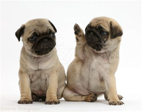 waving pug dogs pug puppies one waving to the other photo wp41994
