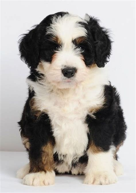 bernese mountain and poodle mini bernedoodles bernese mountain poodle cross 25 49 lbs grown 15 20