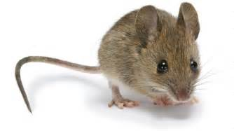Garden Mouse by Mice How To Identity And Get Rid Of Mice In The Garden