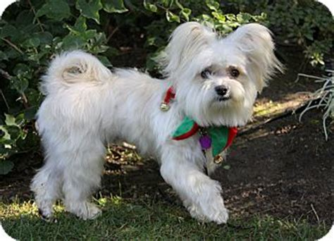maltese yorkie mix rescue lars adopted newport ca yorkie