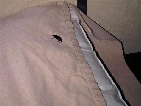 flying bed bugs flying bugs in hotel room hton inn suites altus