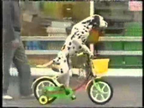 imagenes niños manejando bicicleta un perro dalmata manejando bicicleta youtube