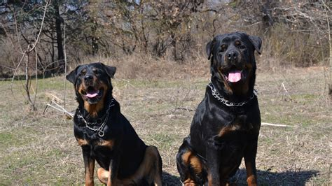 how to cut rottweiler rottweiler wallpapers and images wallpapers pictures photos