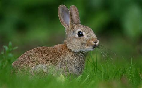 grey rabbit wallpaper rabbit hd wallpapers