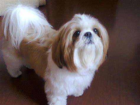 fotos de shih tzu fotos de thoby um cachorro de ra 231 a shih tzu seis meses de idade