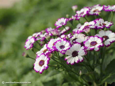 flower pic cineraria pictures cineraria flower pictures