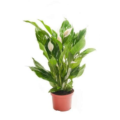 indoor plants uk house plants ebay
