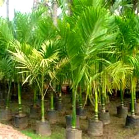 The Nut Tree 65g by Xlb Palm Trees Plantant