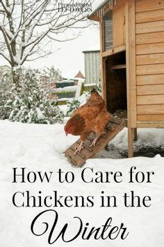 How To Take Care Of Backyard Chickens by Best 25 Silkie Chickens Ideas On Fluffy