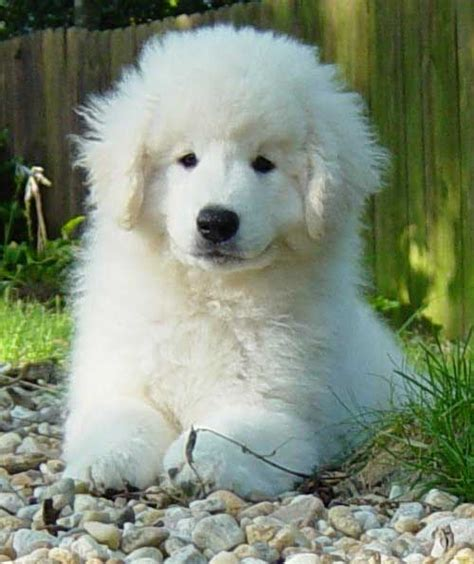 kuvasz puppies our kuvasz puppies rebel ridge kuvasz