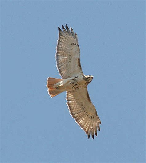 type of hawks in tn backyard bird identification owls hawks osprey vulture bald eagle