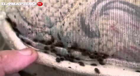 pulci da materasso sgradevoli ospiti le cimici da letto come combatterle