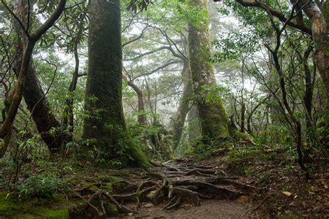 The Of The Forest file forest in yakushima 55 jpg wikimedia commons
