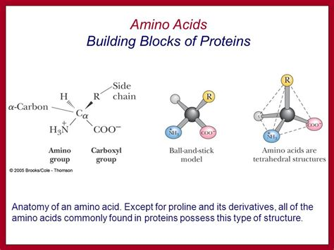protein building blocks the building blocks for proteins ppt