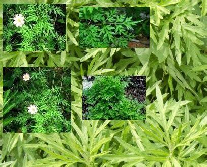 butuh anti kanker murah daun kenikir solusinya sayuran
