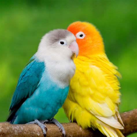 love bird wallpaper  wallpaper gallery
