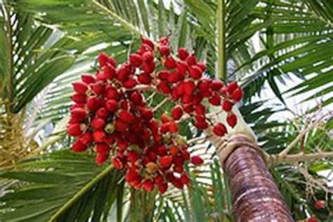 christmas palm tree veitchia merrillii picture care tips