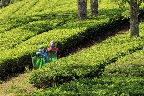 Teh Zegar Di Cirebon kebun teh pesonabumiparahyangan
