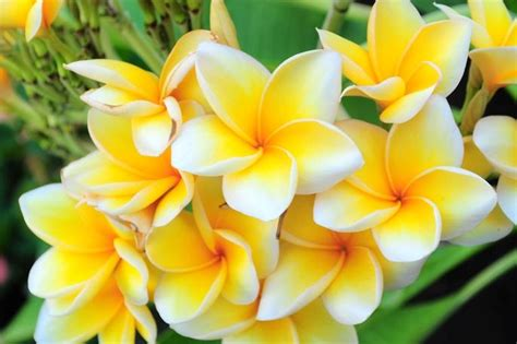 Cempaka Madu kumpulan gambar bunga beserta informasinya selingkaran