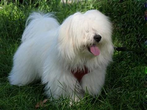 How To Keep Dog From Barking by Tips For Coton De Tulear Coat Problems Or Coat Changes