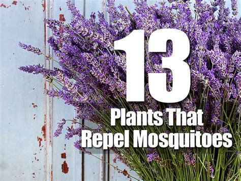 flowers that keep mosquitoes away 13 plants that repel mosquitoes