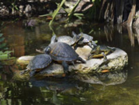tartaruga d acqua alimentazione alimentazione tartaruga acqua dolce