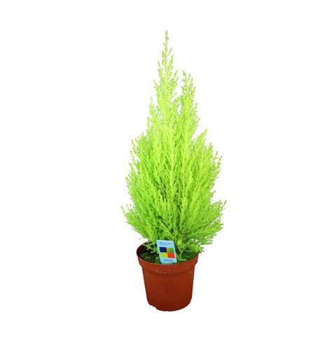 Garten Pflanzen Düngen by Zimmerzypresse Cupressus Macrocarpa Lexikon F 252 R