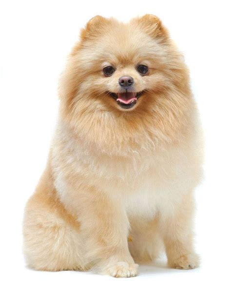 cutest pomeranians pomeranian names for your or puppy