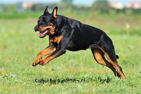 rottweiler running rottweiler animal stock photos kimballstock