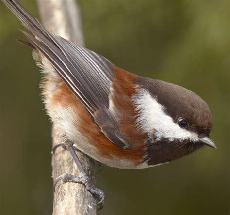 chestnut backed chickadee bird watcher s diary