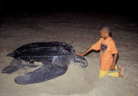 imagenes de tortugas blancas tortugas una mano amiga del ecosistema marino
