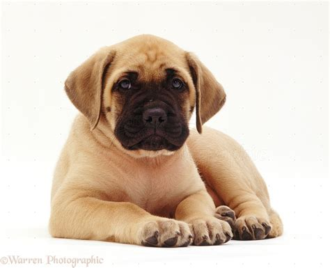 mastiff puppies for free mastiff puppies 4 desktop background dogbreedswallpapers