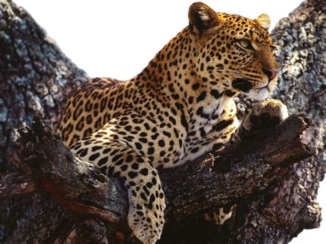 Leopard Wallpaper Pinterest | wild african leopard nature hd wallpaper funny pictures