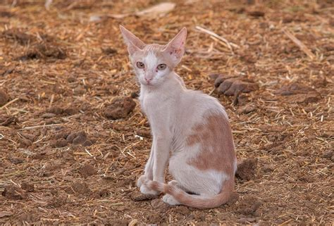 caterpillar cat nh brown photo 1224 22 pale brown cat sitting in camel market