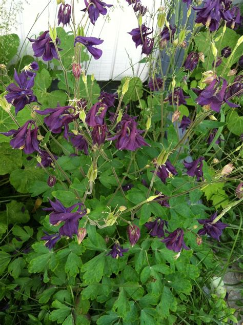 17 best images about aquilegia on pinterest gardens shade garden and deep purple