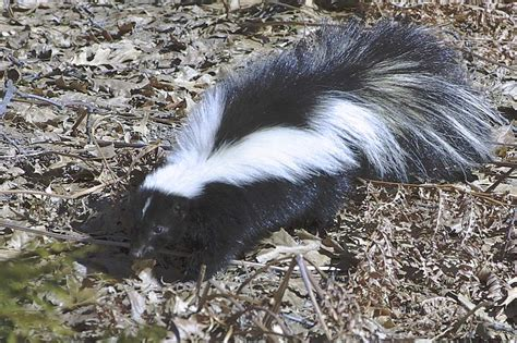 why does my house smell like skunk a rambling redhead why i am scared of skunks an explanation