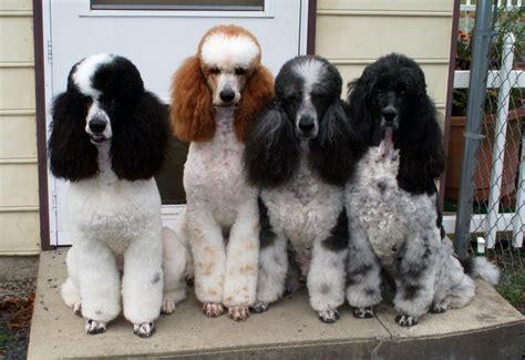 parti colored poodle poodle the parti four
