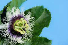 fiore commestibile fiore della passiflora commestibile immagine stock