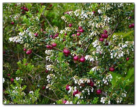 flowering shrubs zone 7 gaultheria mucronata prickly heath