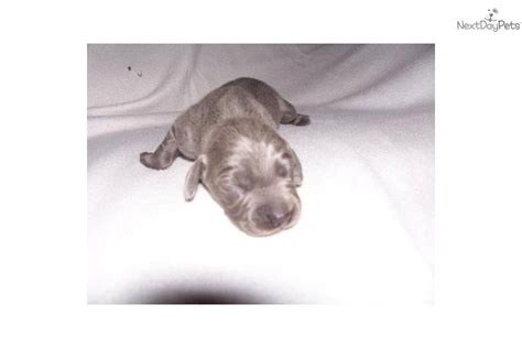 weimardoodle puppies for sale weimardoodle puppy for sale near springfield missouri 634b9fdc 8b41