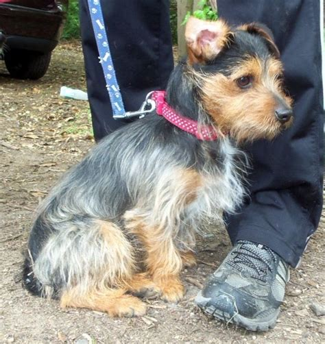 x yorkie yorkie yorkie x terrier mix facts temperament puppies pictures