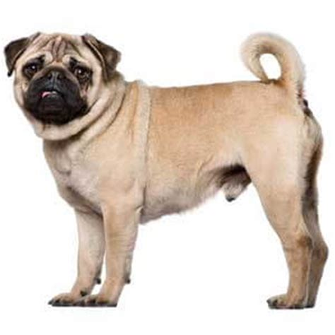 what is a pug bred for pug breed 187 information pictures more