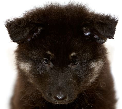 haired german shepherd puppies for adoption haired german shepherds for adoption breeds picture